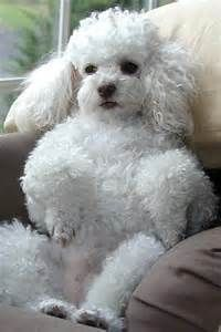 Cor-De-Rosa, Miniature Poodles, Charms Dogs, Poodles Haircuts, Poodles ...
