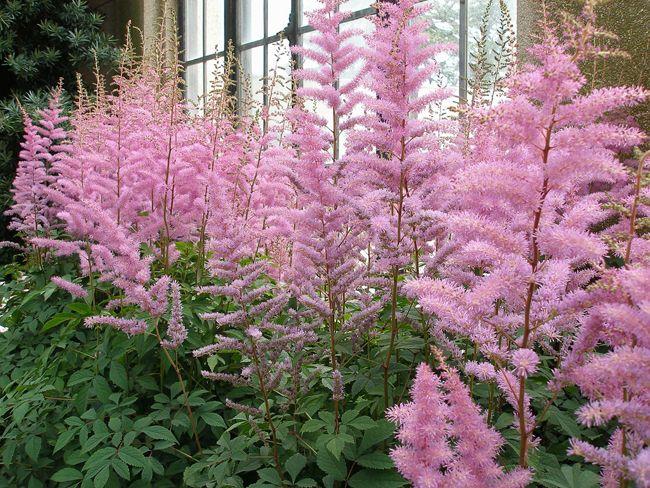 Astilbe (Astilbe), fleurs plumeuses pour zone ombragée