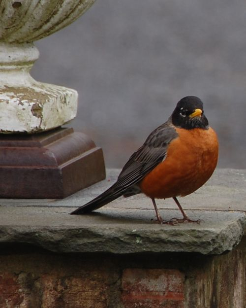 Rock' Robin... have big fat robins hopping around all over my lawn... but they won't pose for a picture. Spring must be right around the corner when these birds come back... so right!!