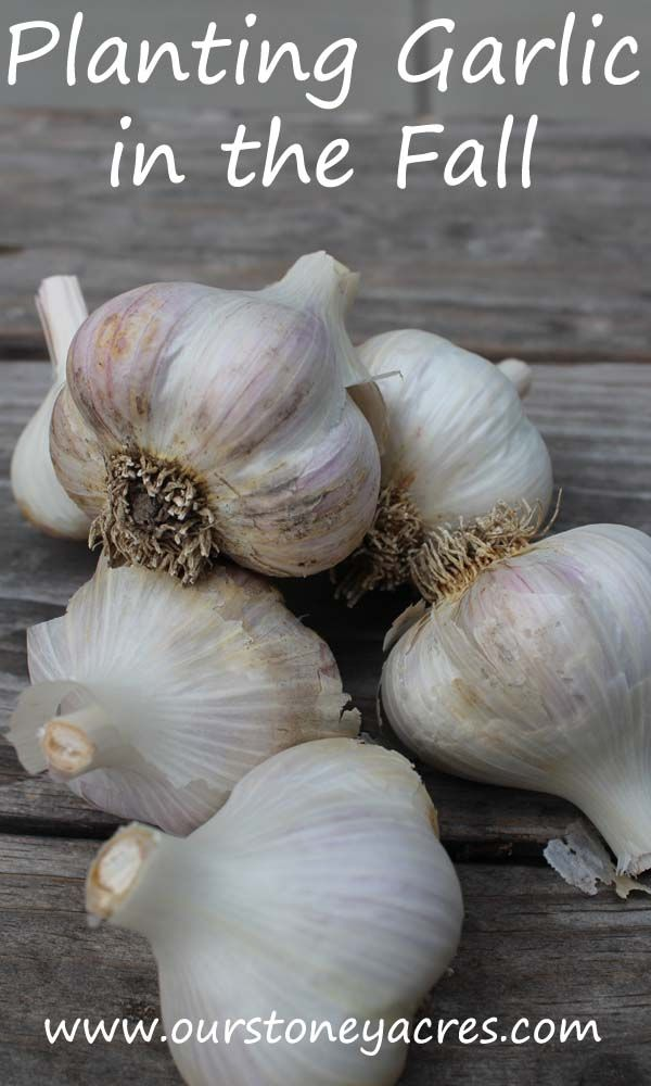 Early to mid fall is the perfect time for planting garlic. Garlic planted in the Fall almost always does better than spring planted garlic.