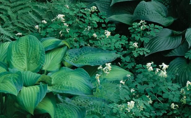 Tame bold leaves with delicate foliage. The fine texture of Corydalis ochroleuca contrasts beau­tifully with the coarse leaves of the varie­gated 'Blue Shadows' and the solid green 'Candy Hearts' hostas.