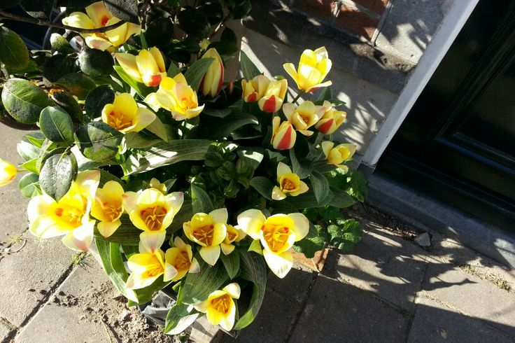 Tulips everwhere #Amsterdam