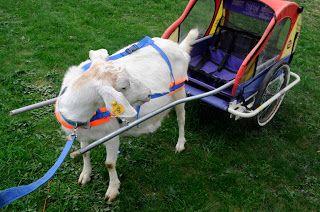 #goatvet thinks using a child's bike cart as an alternate Goat Cart is a brilliant idea