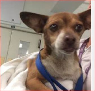 Loxahatchee, FL - Chihuahua Mix. Meet Echo, a dog for adoption. http://www.adoptapet.com/pet/19194662-loxahatchee-florida-chihuahua-mix