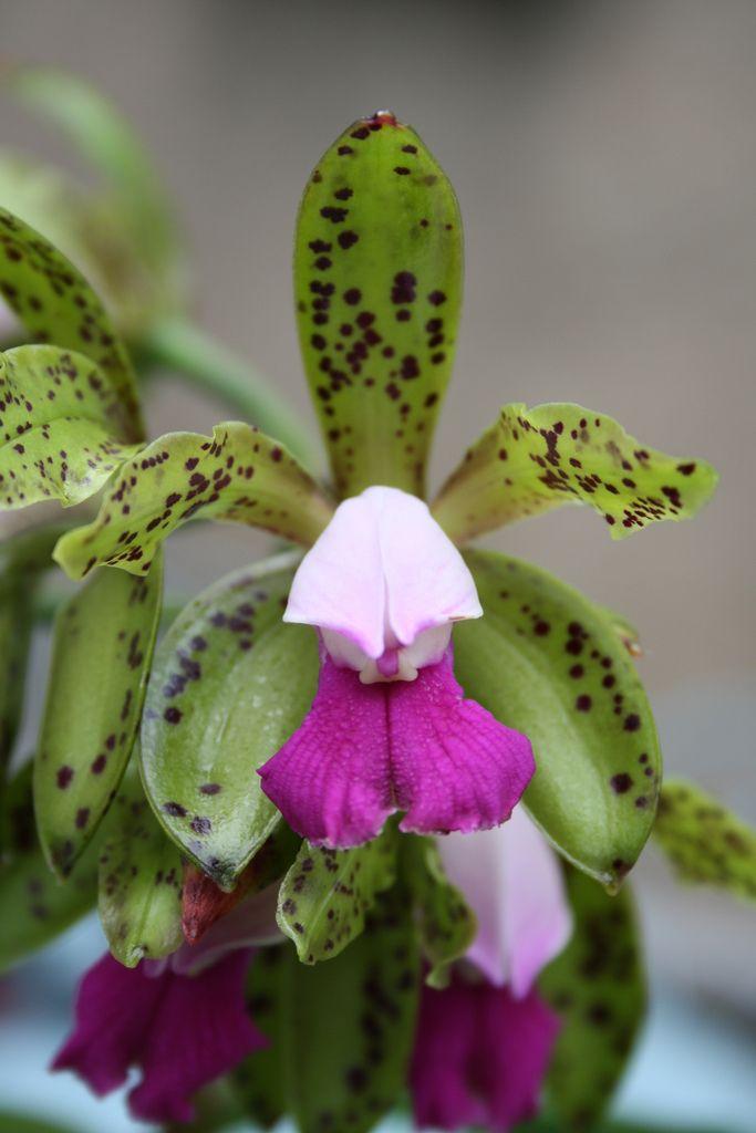 Cattleya guttata - Flickr - Photo Sharing!