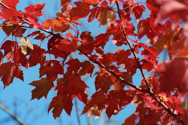 Red maple in the fall. (Photo by: Barbara Webb)