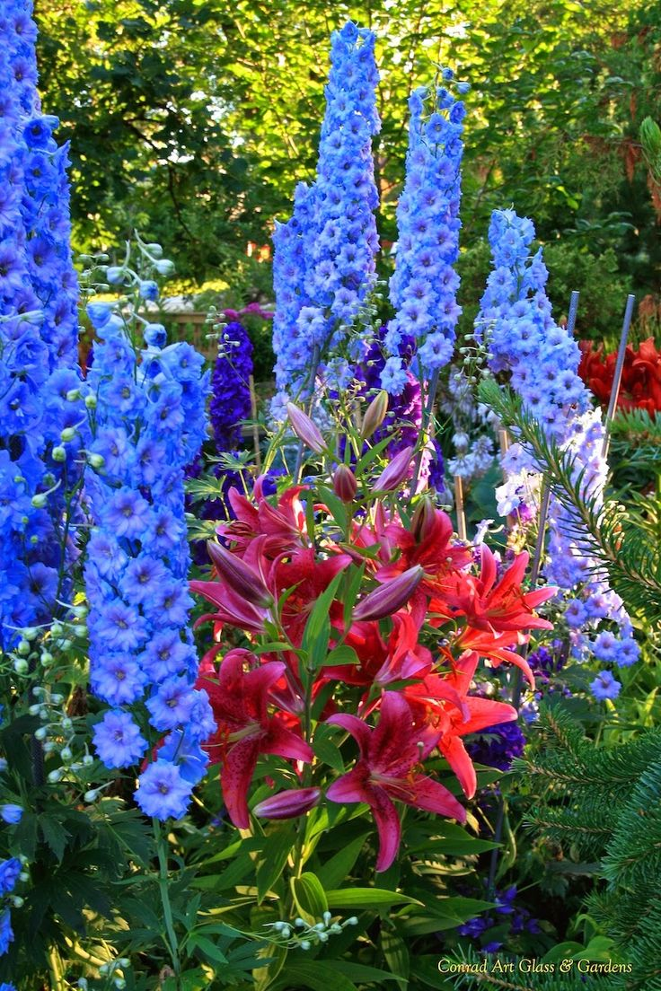 Delphiniums & Asiatic Lilies | July Perennial Garden