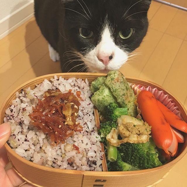 夫のお弁当をすんすんチェックするクロ助。 関東も今週あたり梅雨入りする予感。  #猫#ねこ #cat #ねこ部 #元野良猫 #保護猫 #黒猫 #デブ猫 #愛猫 #日本猫 #はちわれ #クロ #tuxedocat #catstagram #お弁当 #旦那弁当 #わっぱ弁当