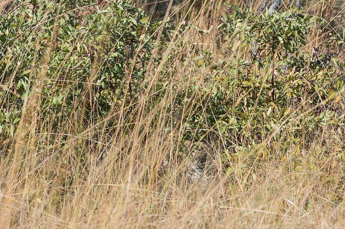 Can you spot the leopard? - near Shumba Camp, Zambia