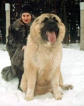 The breed name of this monstrous, furry beat is the Caucasian Shepherd, also known as the Caucasian Mountain Dog. It's named after the Caucasus Mountains in Georgia.