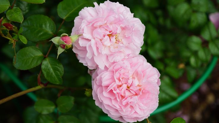 Роза Strawberry Hill by David Austin