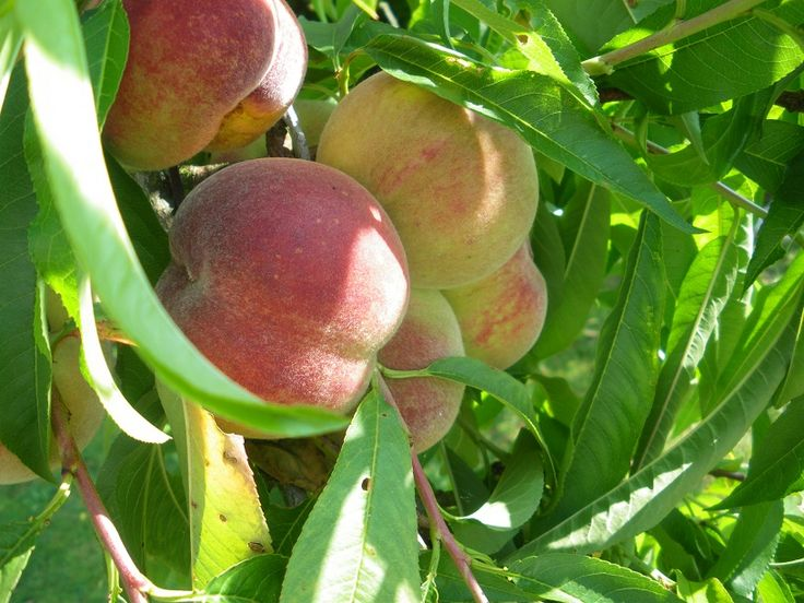another close up of the peaches in our tree..