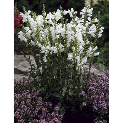 """Garten-Gelenkblume """"Schneekrone"""" Weiß - braucht Sonne - Topf-Ø ca. 9 cm x 9 cm Physostegia"""