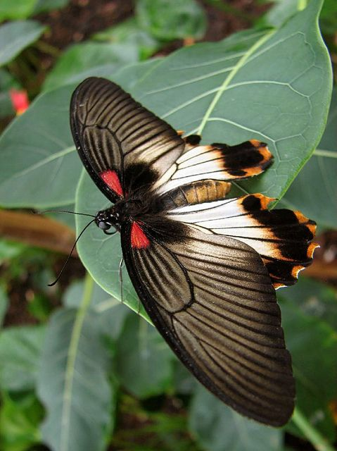 Great Mormon Swallowtail (Papilio Memnon)
