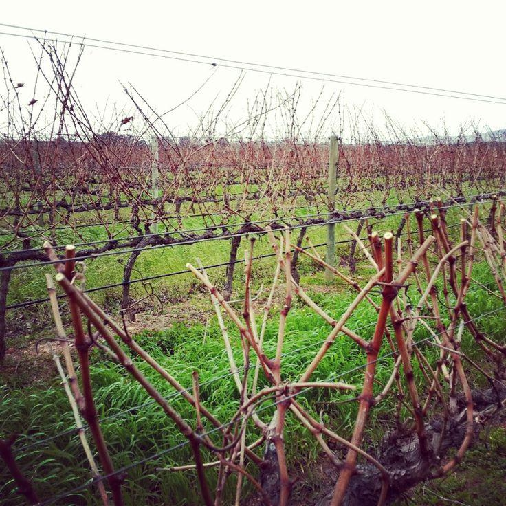 Pruning is almost over! #vineyards #pruning #wine