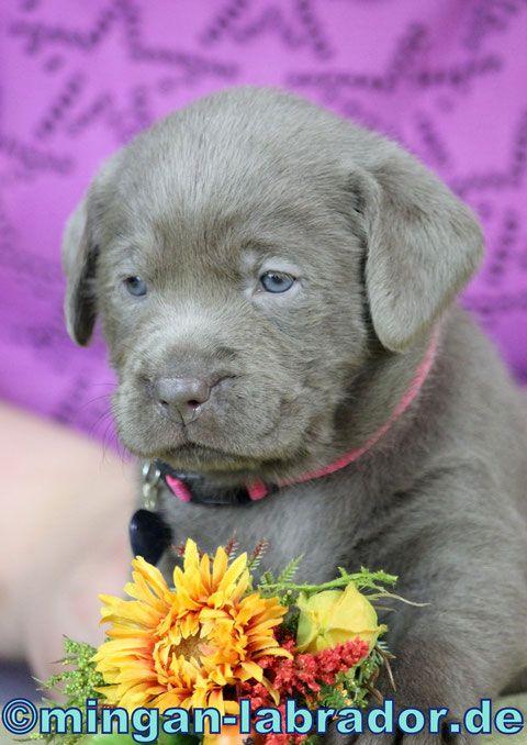 Aktuelle Welpen/ puppies - mingan-labrador: Labradore in Silber, Charcoal, Champagner, Braun