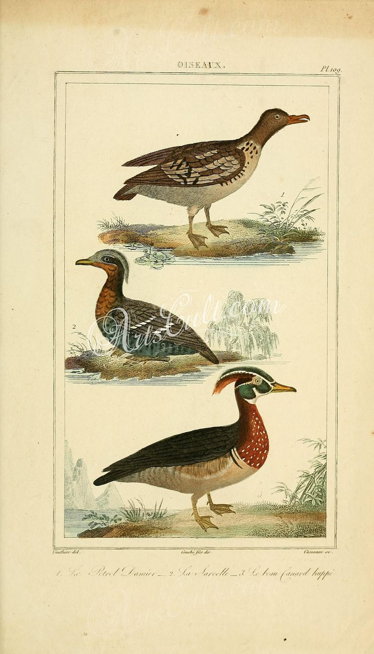 birds-18254 109-Petrel, Sarcelle, Canard Huppe  botanical floral botany natural naturalist nature flowers flower beautiful nice flora plants blooming ArtsCult.com Artscult ArtsCult vintage printable public domain 300 dpi commercial use 1800s 1700s 1900s Victorian Edwardian art clipart royalty free digital download picture collection pack paintings scan high qulity illustration old books pages supplies collage wall decoration orname