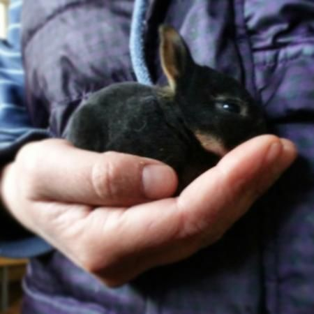 Baby Mini Rex Rabbits for sale For Sale in Warrington, Cheshire | Preloved