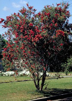 australian native garden design ideas - Google Search