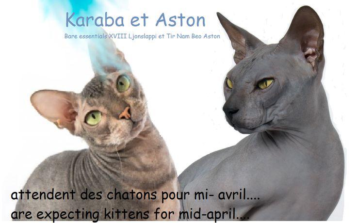 dans dix jours, les premiers chatons d'Aston!