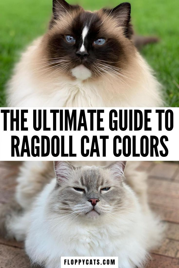 Red Ragdolls Ragdoll Cat Breed Cat Breeds Cats