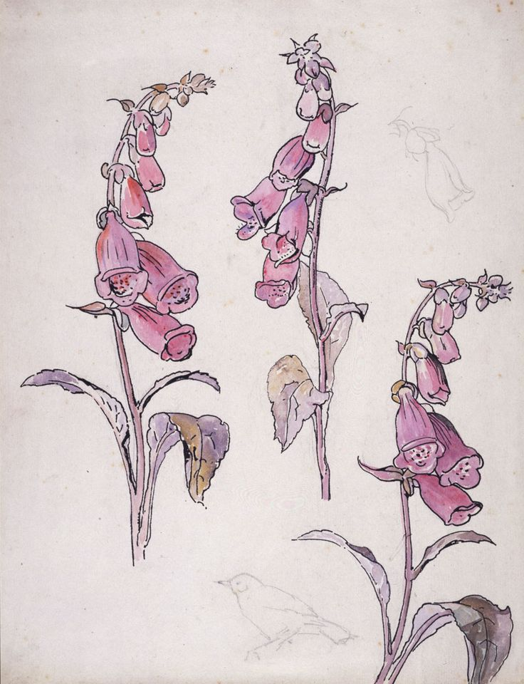 Botanical illustration. Beatrix Potter, Foxglove, about 1903