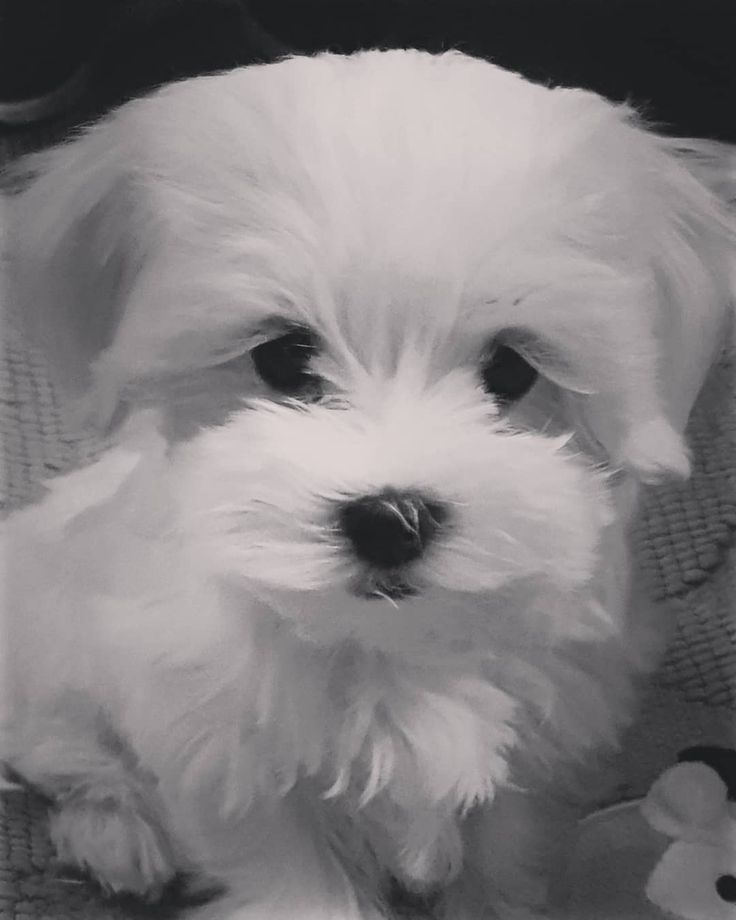 Lou Welkom Puppy Pup Maltese Malteser Cute Cuteanimals