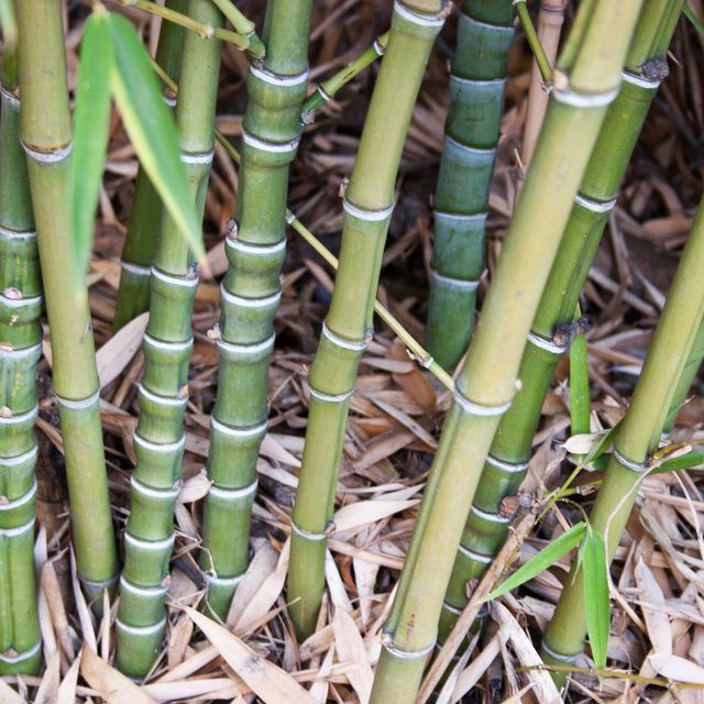 How To Transplant Bamboo Cuttings The O Jays The Grass