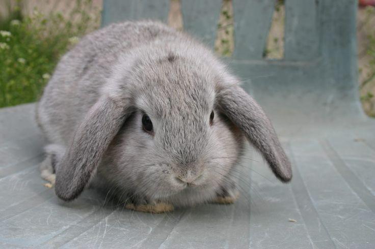 Conejo Belier                                                                                                                                                                                 Plus