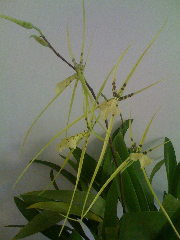 Australian native orchid