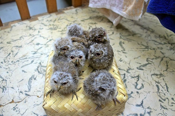 Bayi Burung Hantu Celepeuk