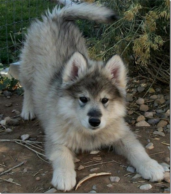 Wolfdogs- yes... one please!