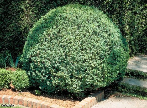 American Boxwood (Buxus sempervirens)