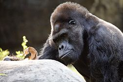 Zoo Atlanta mourns Ivan the western lowland gorilla