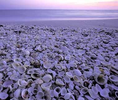 SANIBEL ISLAND, FL:  For the best pickings on this Manhattan-size island, head up to Bowman's Beach, on the northern end of the Gulf-facing beaches almost to Captiva Island. Rainy day? Get your daily mollusk fix at the island's Bailey-Matthews Shell Museum.  What You'll Find: Coquinas, scallops, whelks, and sand dollars.