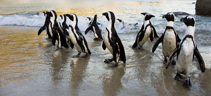 African Penguins at Boulders Beach, Cape Town. Photo cred: Liza de Villiers