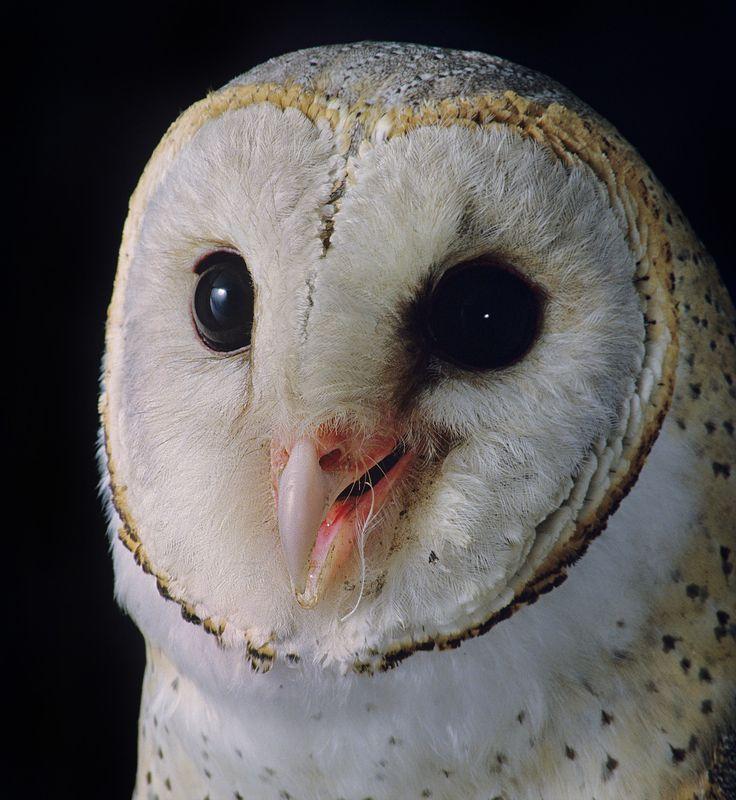 Barn Owl in India