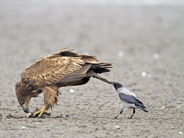 "White-tailed Eagle getting tail pulled by Hooded Crow. Crows (meaning Corvus, not just the crows with the common name ""crow"") pull tails.  It's like they can't help themselves.  If there is a tail, it must be pulled:"