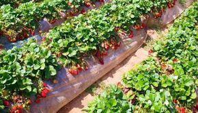Йод для клубники   сад