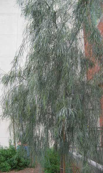 Shoestring Acacia, Acacia stenophylla. Photo via anneric.info.