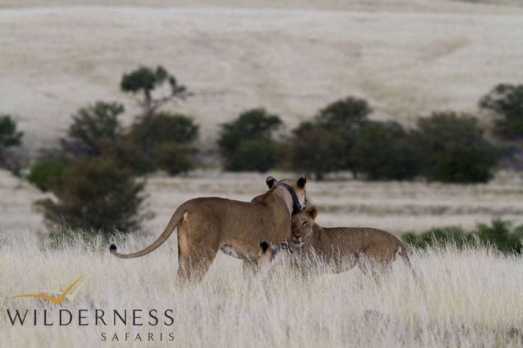 Desert Rhino Camp -The Palmwag Concession also holds the core of the rarely seen desert-adapted lion population of north-west Namibia. Cheetah and leopard also sometimes seen in this area. #Safari #Africa #Namibia #WildernessSafaris