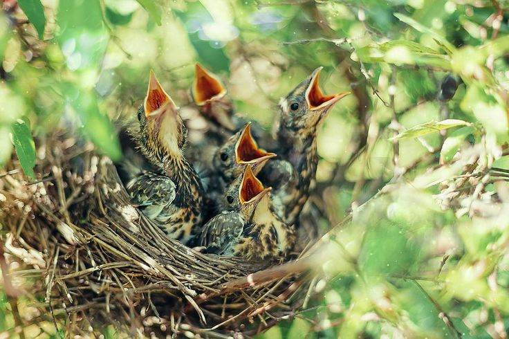 Cute Baby Birds Fine Art Photograph by Oksana Ariskina on @fineartamerica. Baby of a bird thrush in a nest ask to eat. Print Art and other Products are available on my shop: https://oksana-ariskina.pixels.com #OksanaAriskina #Wild #Animals #Nest #ArtForHome #FineArtPrints #InteriorDesign #Baby #Nature
