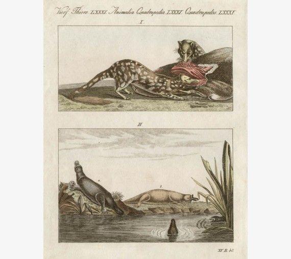 Western Quoll Platypus engraving Lesueur Bertuch
