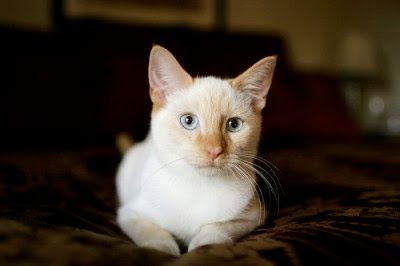 flame-point-siamese-cat