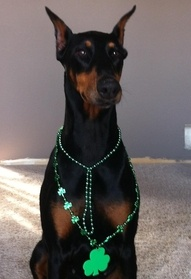 happy shamrock day...Green is a great color for us Dobies