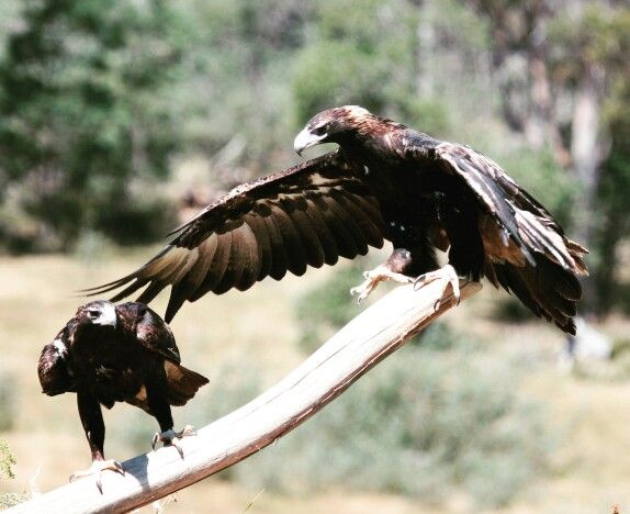 The Tasmanian Wedge-tailed Eagle.  Standing over a meter tall, weighing up to 5 kg, and with a wing span of up to 2.2 meters.  #pointtours #tasmania #adventure #adventuretravel #adventuretrekking #travel #forest #wilderness #eagle