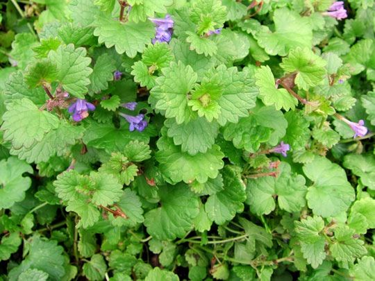 Gill-over-the-ground, Creeping Charlie, Catsfoot, Run-away-robin, Hedge maids, Alehoof, Tunhoof ... these are just a few of the names given to ground ivy, a member of the mint family found in moist shady areas, along hedgerows and buildings, and creeping through gardens and lawns