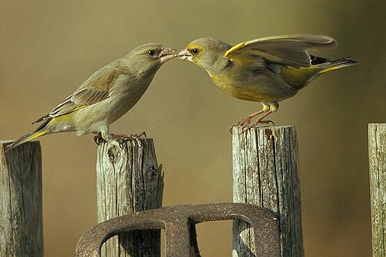Grünfink beim Füttern