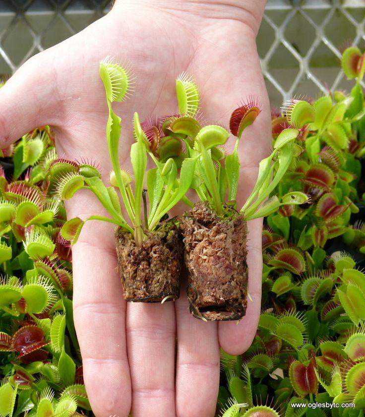 Dionaea muscipula (Venus Fly Trap)