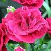 Dianthus caryophyllus 'Simba'. Suitable for Living Wall Sun Loving Plant. Click image to get care advice.   Other names: Border carnation 'Simba' , Wild carnation 'Simba' , Dianthus caryophyllus 'Sunflor Simba'    Genus: Dianthus    Variety or cultivar: 'Simba' _ 'Simba' is a compact, upright to spreading, branching, woody evergreen perennial with flattened, narrowly lance-shaped, dark green leaves and, in summer, stiff stems bearing strongly fragrant, double, red to reddish-pink flowers.